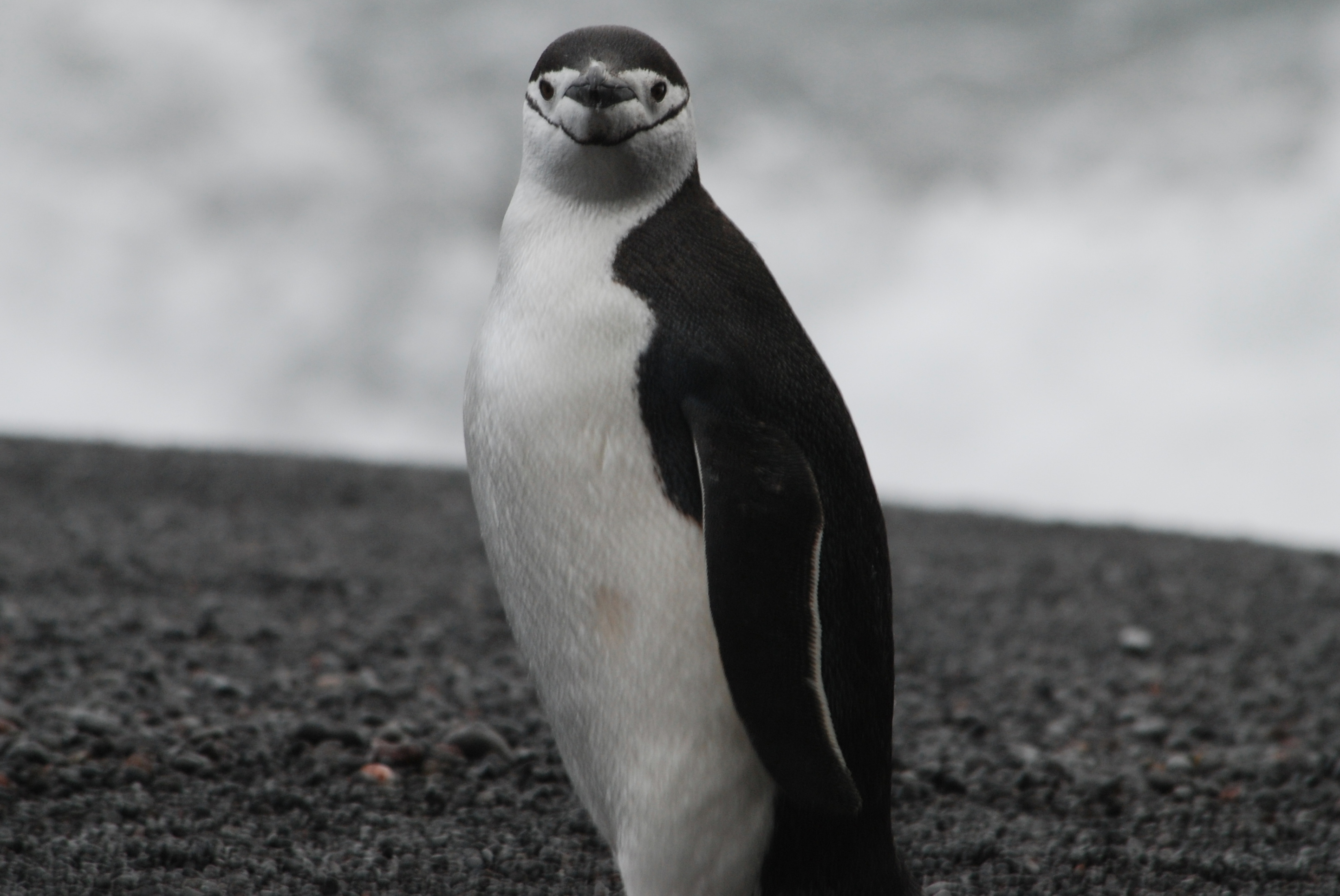 Chinstrap penguin pictures