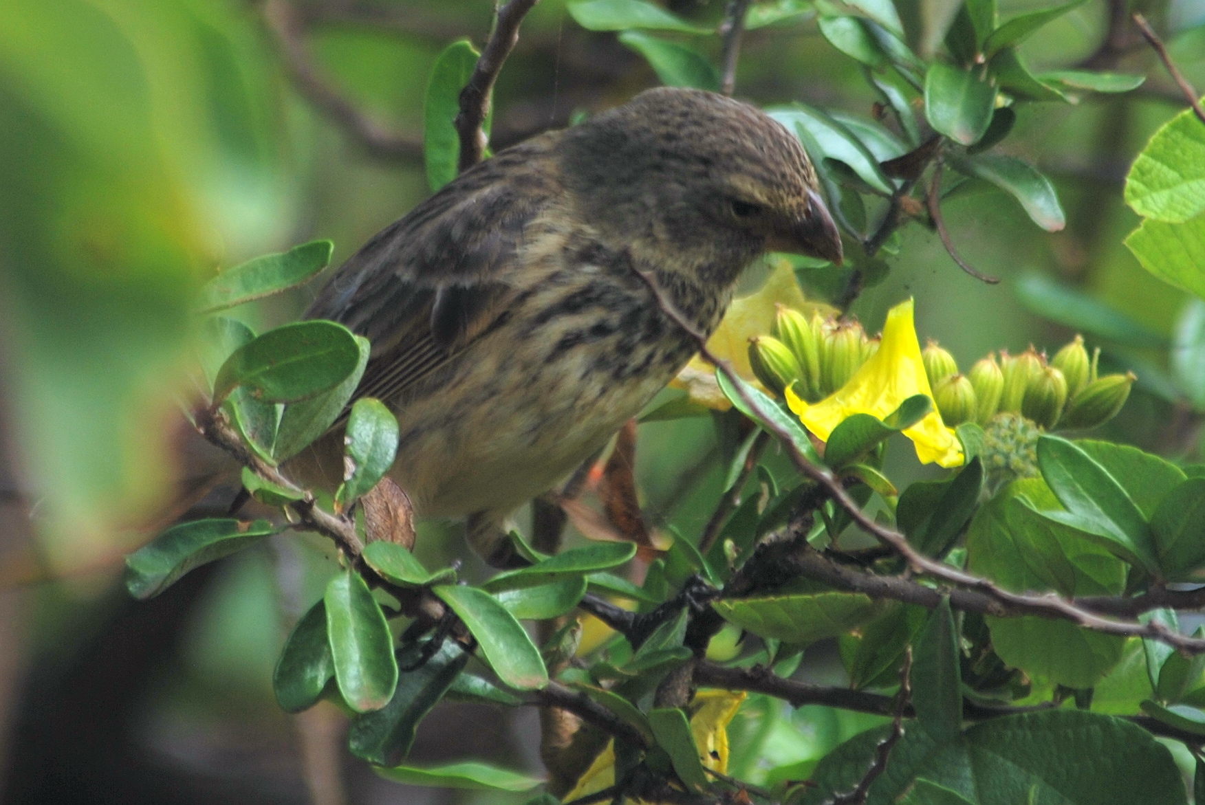 Darwin's Finches and Natural Selection in the Galapagos